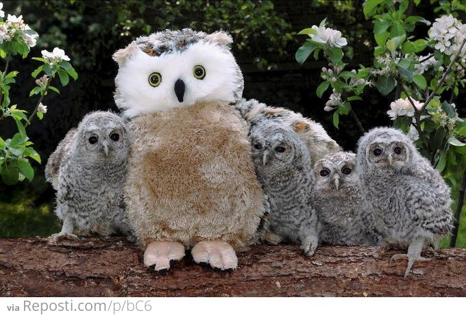 Surrogate Mother Owl