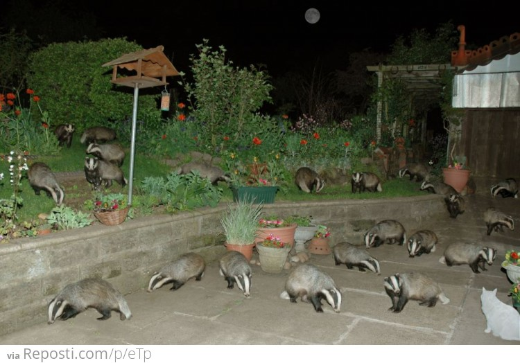 Suddenly: badgers
