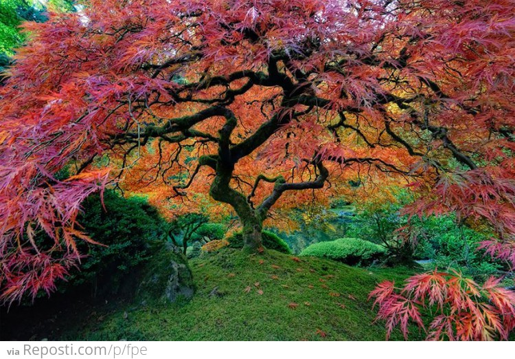 Beautiful Japanese Maple In Portland, Oregon