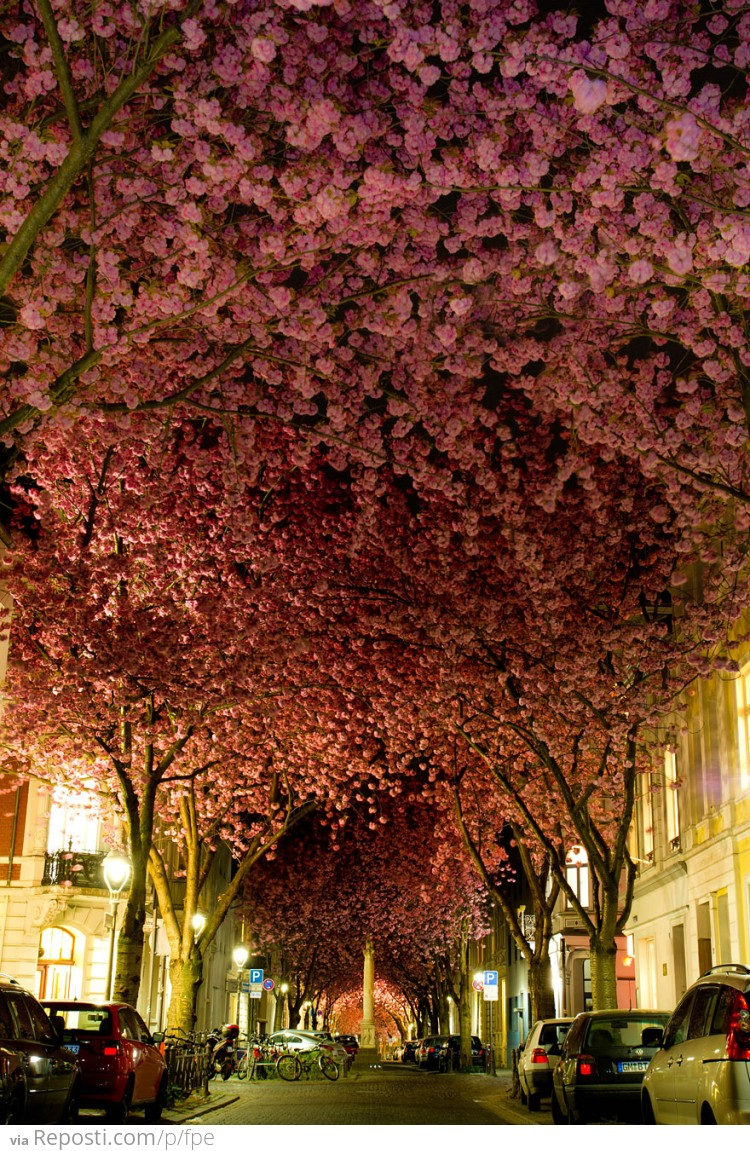 Blooming Cherry Trees in Bonn, Germany