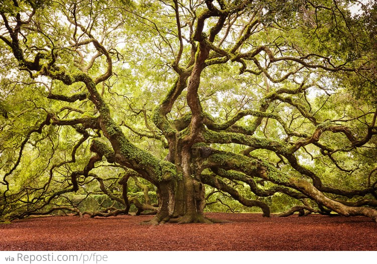 Angel Oak In John's Island In South Carolina