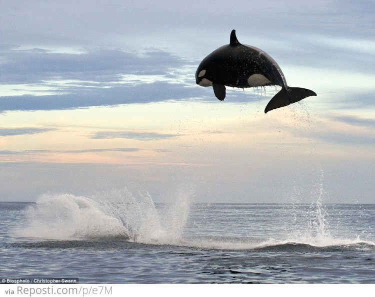 8 ton Orca jumps nearly 20 feet out of the water